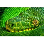 1art1 Snakes Poster Art Print - Side-Striped Palm Viper, Bothriechis Lateralis II (47 x 31 inches)