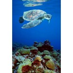 Posters: Turtles Poster - Snapping Turtle (36 x 24 inches)