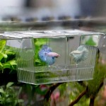 Afco Aquarium Fish Tank Guppy Double Breeding Breeder Rearing Trap Box Hatchery for Sick and Pregnancy Fish Size 12cm x 7cm x 7cm (Transparent)