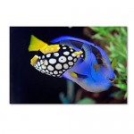 Trademark Fine Art Colorful Tropical Fish Art by Kurt Shaffer, 16 by 24-Inch